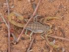 Botswana, Aha Dancing Spot, un scorpion nous tient compagnie au camp (c) M. Jarry