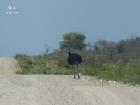 Petite course avec les autruches sur la piste vers les Aha Hills (c) M. Jarry