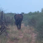 Aha Hills, rencontre avec la famille éléphant au détour de la piste qui longe la frontière avc le Botswana (c) M. Jarry