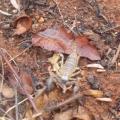 Aha Hills, scorpion retrouvé dans nos bagages après la pluie (c) M. Jarry