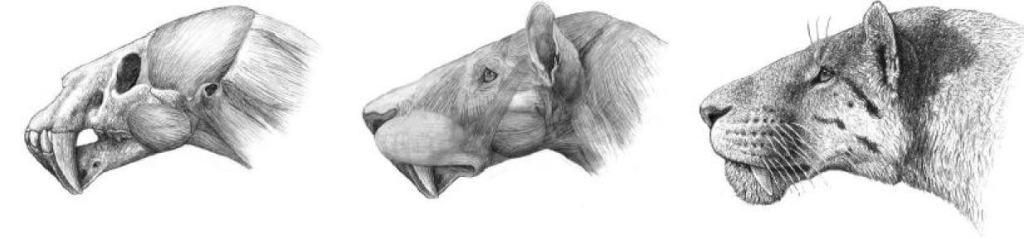 Reconstitution d'Homotherium (félin à dent de sabre) pour Camille Thabard